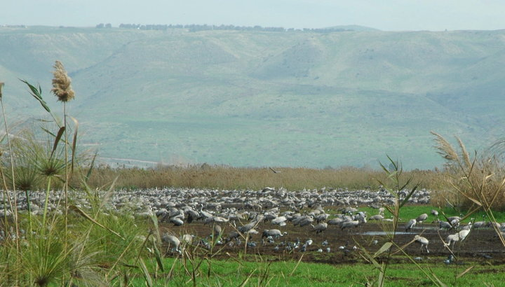 Cranes under the shadow of the Golan Heights