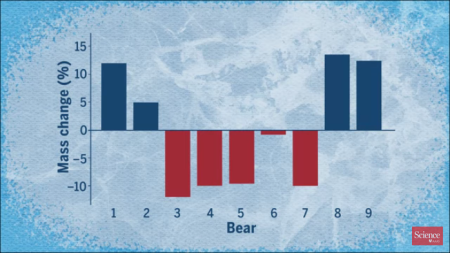 Polar bear calorie use in spring