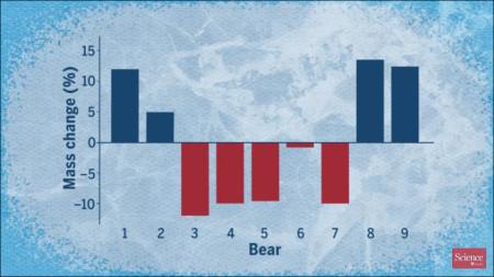 Polar bear calorie use in spring